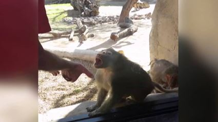 Baboon Is Amazed By Man's Magic Trick