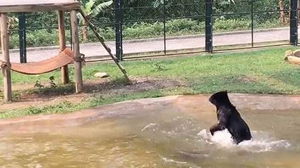 WATCH: Rescued Bear Jumps For Joy In New Home
